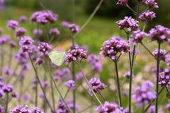 Mariposa blanca en flores púrpuras Foto de archivo libre de regalías