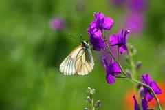 Mariposa blanca en flujo púrpura Foto de archivo
