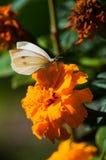 Mariposa blanca en la flor fotografía de archivo libre de regalías