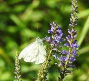 Mariposa blanca en la flor azul, Lituania foto de archivo