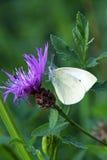 Mariposa blanca en la flor púrpura Fotografía de archivo