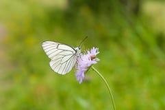 Mariposa blanca en la flor salvaje Fotos de archivo