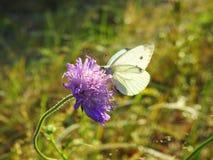Mariposa blanca en la flor violeta, Lituania fotografía de archivo