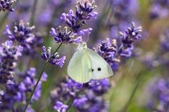 Mariposa blanca en la lavanda (lavendula) Imagen de archivo