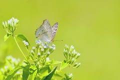 Mariposa blanca en las flores blancas Imagen de archivo libre de regalías