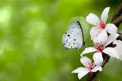 Mariposa blanca en las flores (flor de Tung) Fotografía de archivo libre de regalías