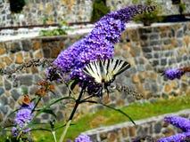 Mariposa blanca en lila Fotografía de archivo