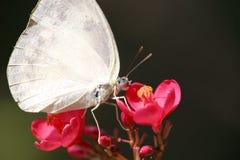 Mariposa blanca en macro de la flor Fotos de archivo