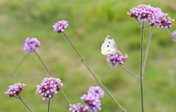 Mariposa blanca en racimos de una flor de la púrpura Fotografía de archivo libre de regalías