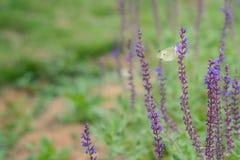 Mariposa blanca en racimos de una flor de la púrpura Fotos de archivo