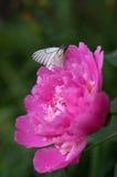 Mariposa blanca en un pión de la flor Foto de archivo libre de regalías