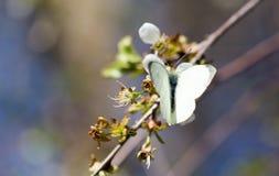 Mariposa blanca en una flor blanca Foto de archivo