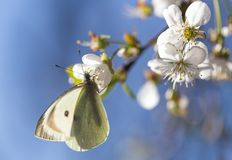 Mariposa blanca en una flor blanca Fotografía de archivo libre de regalías