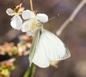 Mariposa blanca en una flor blanca Imagen de archivo libre de regalías