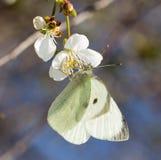 Mariposa blanca en una flor blanca Fotografía de archivo