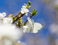 Mariposa blanca en una flor blanca Fotos de archivo libres de regalías