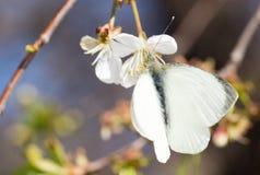 Mariposa blanca en una flor blanca Foto de archivo libre de regalías