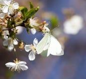 Mariposa blanca en una flor blanca Fotos de archivo