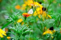 Mariposa blanca en una maravilla de la flor Imagenes de archivo