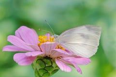 Mariposa blanca en zinnia rosado imagenes de archivo