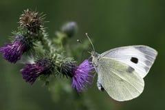 Mariposa blanca grande Imagen de archivo
