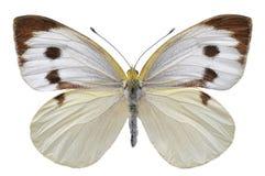 Mariposa blanca grande aislada Fotos de archivo libres de regalías