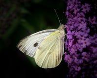 Mariposa blanca grande (brassicae del Pieris) en la flor de mariposa del Buddleia Imagen de archivo libre de regalías