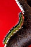 Mariposa blanca grande de Caterpillar Imagen de archivo libre de regalías