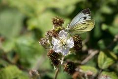 (Mariposa blanca grande de los brassicae del Pieris) Foto de archivo libre de regalías