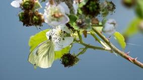 (Mariposa blanca grande de los brassicae del Pieris) Imagenes de archivo