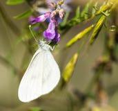 Mariposa blanca grande en la flor de color de malva Fotos de archivo libres de regalías