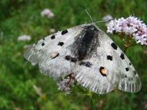 Mariposa blanca hermosa - una foto 1 Imagen de archivo libre de regalías