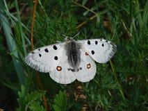 Mariposa blanca hermosa - una foto 3 Foto de archivo libre de regalías