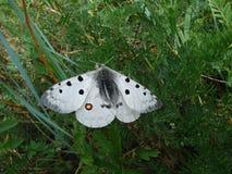 Mariposa blanca hermosa - una foto 4 Fotografía de archivo libre de regalías