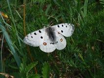 Mariposa blanca hermosa - una foto 2 Imágenes de archivo libres de regalías