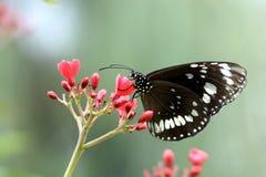Mariposa blanca negra Imagen de archivo libre de regalías