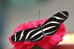 Mariposa blanca negra en la flor Imágenes de archivo libres de regalías