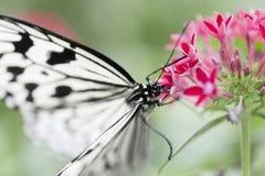Mariposa blanca que alimenta en la flor Imagenes de archivo