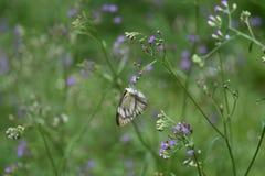 Mariposa blanca que chupa la esencia de la flor fotos de archivo libres de regalías