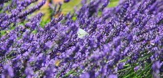 Mariposa blanca que se sienta en la lavanda de la púrpura de la fragancia foto de archivo