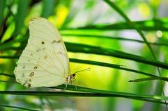 Mariposa blanca rara de Morpho foto de archivo libre de regalías
