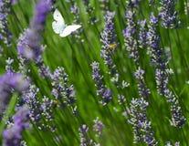 Mariposa blanca sobre la lavanda Fotos de archivo