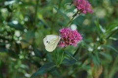 Mariposa blanca sobre una flor imagenes de archivo
