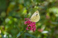 Mariposa blanca sobre una flor imagen de archivo