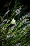 Mariposa blanca sobre una lavanda foto de archivo