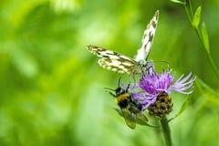 Mariposa blanca veteada en cardo Imagen de archivo