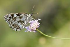 Mariposa blanca veteada en la flor Imagen de archivo