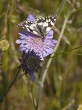 Mariposa blanca veteada en la flor escabiosa Fotografía de archivo
