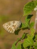 Mariposa blanca veteada español en las hojas verdes Foto de archivo
