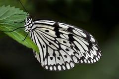Mariposa blanca y negra en una hoja verde Fotos de archivo